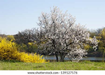 old willows in bloom near still pond, spring landscape