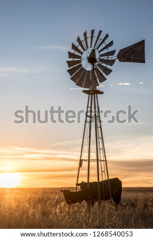 Old windmill and black Angus cattle
