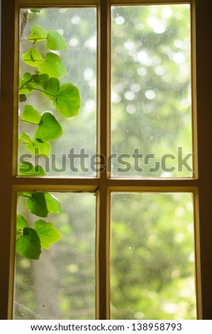 Old window with fresh green leaves outdoor