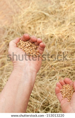 Old woman hand with seeds and wheat land