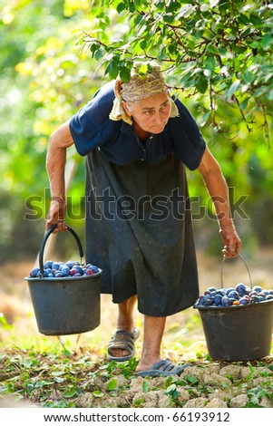 Old woman harvesting plums in an orchard