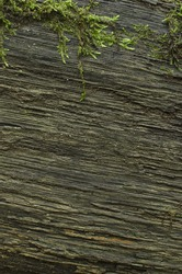 Old wooden background with moss.