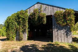 Old wooden barn shed covered in vines in agricultural vineyard winery farm field.