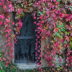 Old wooden door overgrown with ivy in fall colors