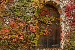 Old Wooden Door to Wine Cellar Entrance on a Stone Walled Building with Autumn Colored Vines and Ivy growing.