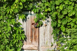 Old wooden door with vintage rusty metal lock and green leaves of wild vine (virginia creeper) at sunny spring day