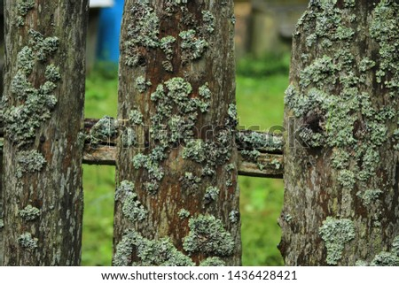 Old wooden fence covered with lichen. Natural texture of a wooden fence with lichen. Natural background of old moss covered fence. Lichen grows on an old wooden fence.