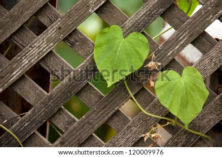 Old wooden fence with climber plant in home garden.