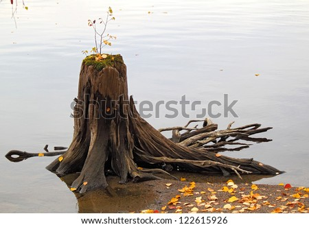 old wooden stump with the new germ in the water, Karelia, Russia