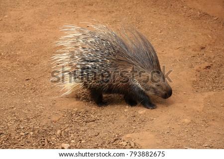Old World porcupine or Hystricidae (Hystrix cristata)