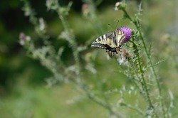 Old World swallowtail butterfly on a Spear Thistle flower. Yellow big butterfly with black vein markings, on a purple spiky wildflower. Natural green background, in the wild.