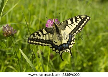 Old World Swallowtail (Papilio machaon) macro