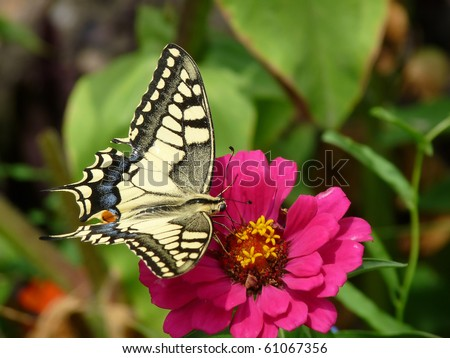 Old World Swallowtail; The butterfly is also known as the Common Yellow Swallowtail. Latin name: Papilio Machaon.