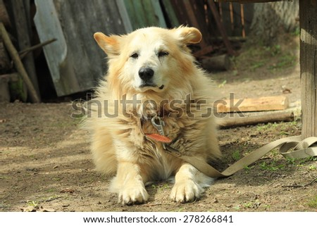 Old yellow dog lying down