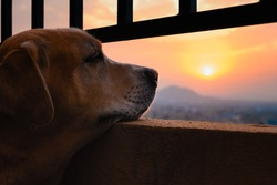 Old, yellow, male labrador retriever resting his chin on balcony, looking away, in a sad/somber mood. Missing long walk due to Coronavirus pandemic lockdown restrictions. Gorgeous sunset backdrop.