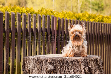 Old Yorkshire terrier dogon the old stump with wooden brown fence background #311684021