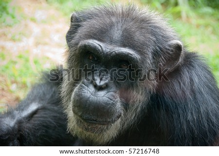Older African Chimpanzee close up