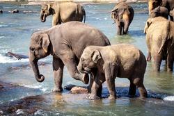 Older Elephant Kicking Young Elephant, Bathing in River