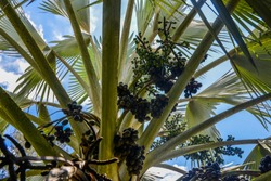 Older fruit, right. with young female rachilla palm tree - Brazil