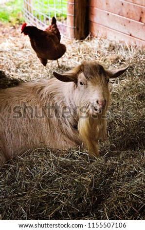 Older goat laying around the barnyard