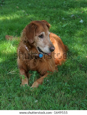 older golden retriever laying in grass