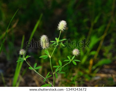 Oldfield clover or Trifolium arvense flowers close-up with bokeh background, selective focus, shallow DOF