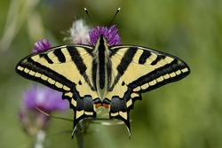 Oldworld Swallowtail (Papilio machaon) butterfly on a purple flower