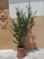 Oleaceae Family Ligustrum Lucidum Plant (Chinese Privet)