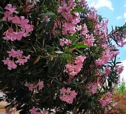 Oleander: a species of Dogbane, also known as common oleander, Nerium, Rose bay, it's botanical name is Nerium oleander.