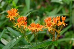 oleander aphids infest a butterfly milkweed plant vital for the monarch butterfly life cycle. Aphid infestation can reduce seed fertility from 90% down to 20%.