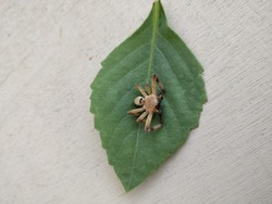 Olios lamarcki, is a species of spider of the genus Olios. It is found in Madagascar to Sri Lanka and India. Animalia Arthropoda Arachnida Araneae Sparassidae.