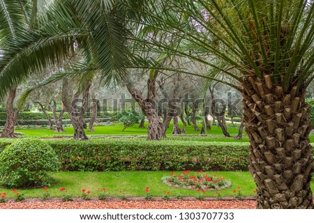 Olive and palm trees in Bahai garden in Haifa, Israel