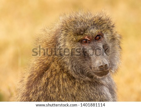 Olive baboon, anubis baboon, Papio anubis, close-up side view face blurred yellow background Ol Pejeta Conservancy, Kenya, East Africa