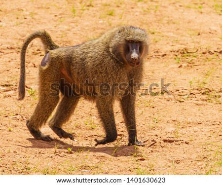Olive baboon, anubis baboon, Papio anubis, close-up side view face body , on dry earth sand, Samburu National Reserve, Kenya, East Africa injured fight