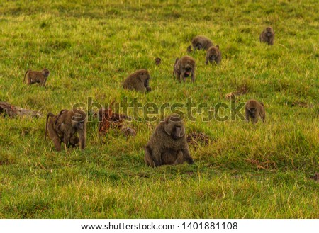 Olive baboons, anubis baboons, Papio anubis, troop feeding in green grassland Ol Pejeta Conservancy, Kenya, East Africa