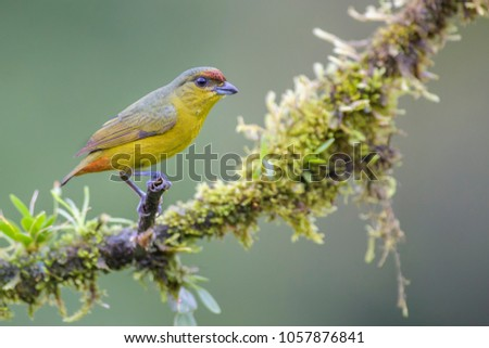 Olive-backed Euphonia - Euphonia gouldi, beautiful colorful perching bird from Costa Rica forest.