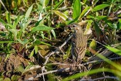 Olive backed pipit (Binzui) during breeding season is bewaring around before returning to the nest at Tateshina, Nagano pref.