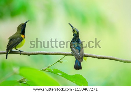 olive backed sunbird or yellow...