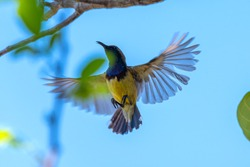 Olive-backed sunbird, Yellow-bellied sunbird flying on bright sky