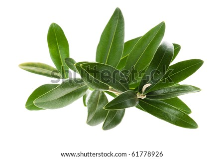 Olive branch isolated on the white