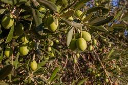 Olive branch with gordal large unripe olives. Tierra de Barros olive grove, Extremadura, Spain