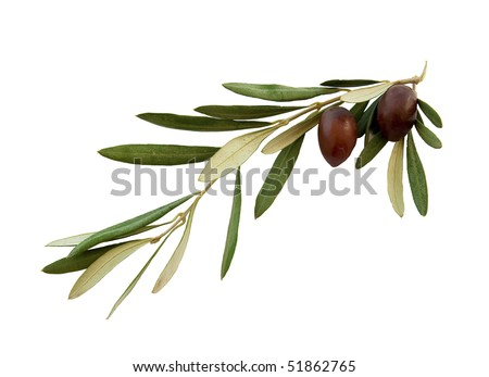 Olive branch with green leaves and two olives on a white background. Isolated.