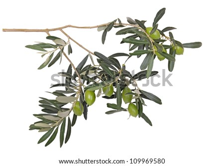 olive branch with green olives
