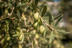 olive branch with lots of olives on it. closeup photo