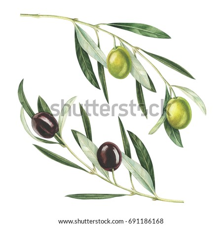 Olive branches isolated on white background. Hand drawn watercolor illustration.