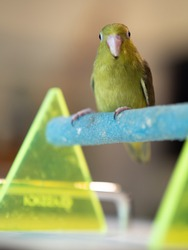 olive, colorful, american white, animal, baby, background, beak, beautiful, bird, branch, budgie, close up, close up forpus, close up parrot, closeup, cute, exotic, eye, feather, fly, forpus, lifestyl