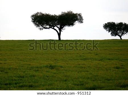olive field in Alentejo, Portugal