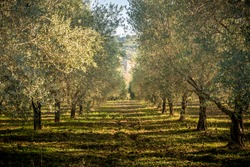 olive field in the sunset near Rome, Italy