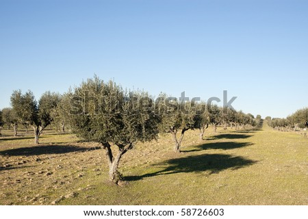 Olive grove in the fields of Alentejo, Portugal