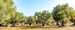 olive grove, olive trees (Olea europaea)